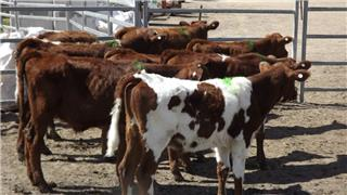 8 Steer Calves