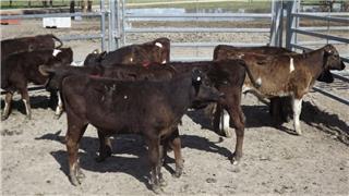 10 Steer Calves