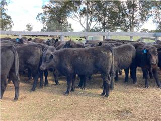 44 Weaned Steers
