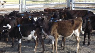 26 Weaned Heifers