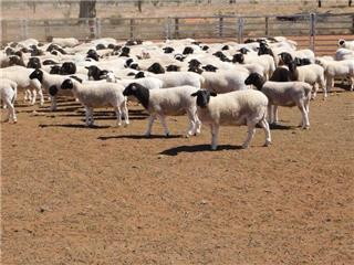 382 Store Wether Lambs