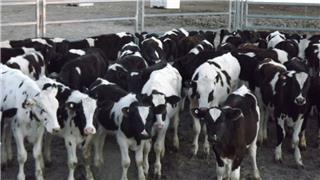 53 Weaned Steers