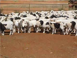 428 Future Breeder Ewe Lambs