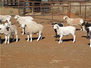 455 Store Wether Lambs