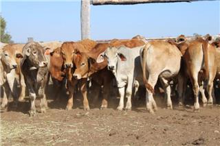 42 Weaned Steers