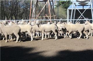 110 Future Breeder Ewe Lambs