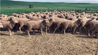 135 Future Breeder Ewe Hoggets