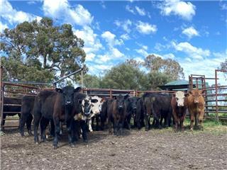 21 Weaned Steers