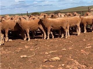 173 Future Breeder Ewe Hoggets