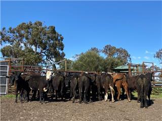27 Weaned Heifers