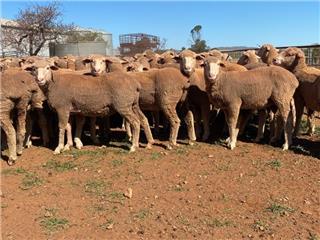 142 Future Breeder Ewe Hoggets