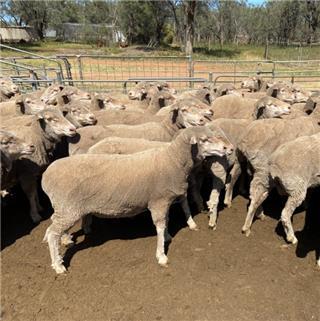 350 Ewes