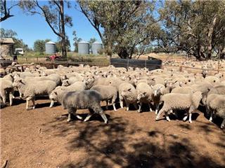 161 Ewe Lambs