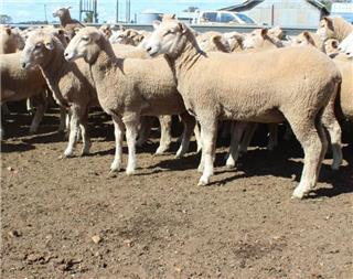 190 Future Breeder Ewe Lambs