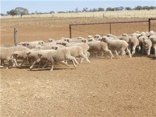 1000 Wether Lambs