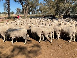 195 Wether Lambs
