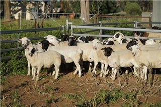27 NSM Ewes