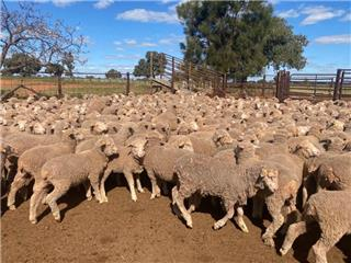 630 Store Wether Lambs