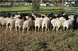 46 NSM Ewes