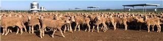 685 Wether Lambs
