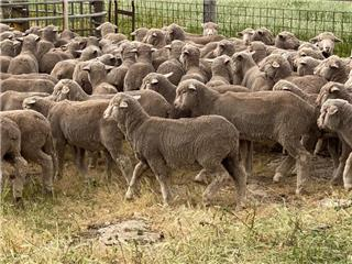 190 Wether Lambs
