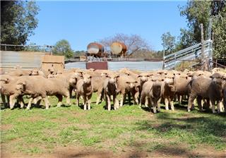 580 Store Wether Lambs