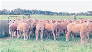 80 Future Breeder Ewe Hoggets