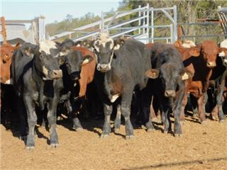 55 Weaned Steers