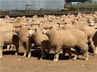 276 Mixed Sex Lambs