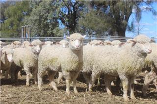 280 Mixed Sex Store Lambs