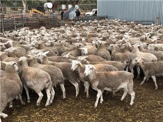 380 Ewes
