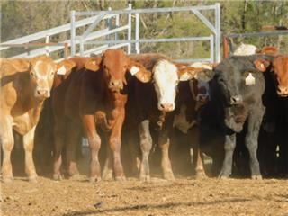61 Weaned Steers