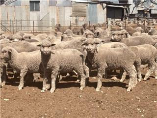 200 Store Wether Lambs