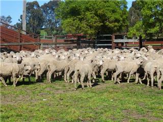 290 Woolgrower Wether Lambs