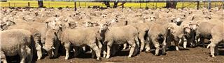 530 Wether Lambs