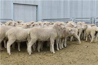 168 Store Wether Lambs