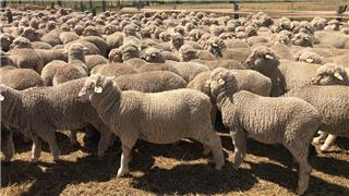 720 Wether Lambs