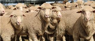 462 Store Wether Lambs
