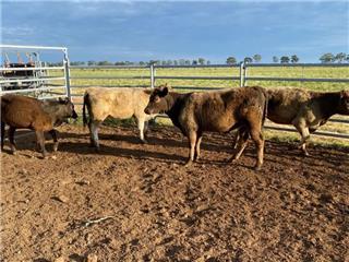 5 Weaned Heifers