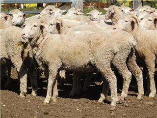 225 Wethers