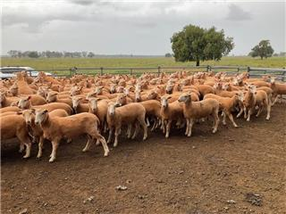 179 Ewe Lambs
