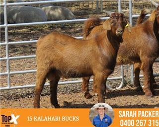 15 Goats - Bucks