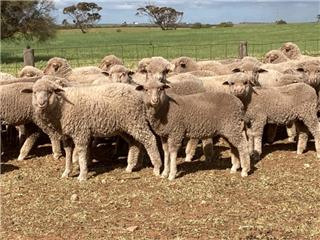 170 Store Wether Lambs