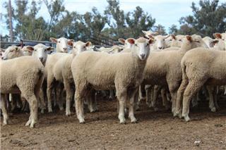 141 Future Breeder Ewe Lambs