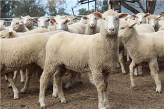 145 Future Breeder Ewe Lambs