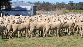 510 Future Breeder Ewe Lambs