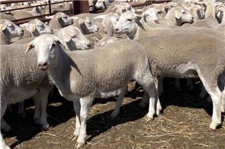 280 Future Breeder Ewe Lambs
