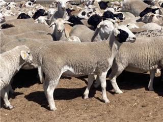 290 Future Breeder Ewe Lambs