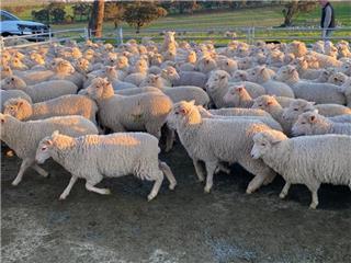 450 Future Breeder Ewe Lambs
