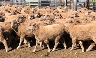 360 Ewes